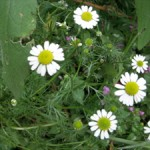 Sweet chamomile ~ easy to grow ~ spreads readily