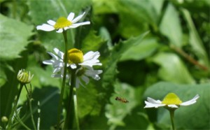 Chamomile growing happily amongst Oak Leaf Lettuce and Tiny Bees...