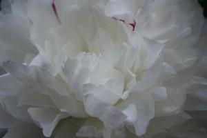 A White Peony photo