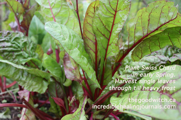 How To Grow Swiss Chard